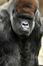 Gorilla (166x250)